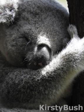 koala Taronga 13